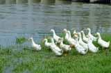 养鸭子利润怎么样