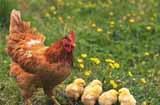 农村养鸡赚钱吗