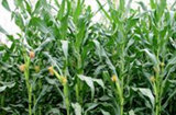牧草玉米多少钱一吨