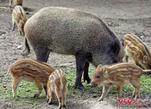 目前农村有哪些创业项目?农村养殖野猪赚不赚钱?