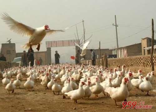 农村养殖业_养殖业什么***_农村养殖业致富项目推荐_959品牌商机网