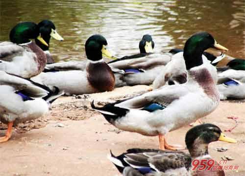 农村自己创业做什么好?养鸭子赚钱吗?