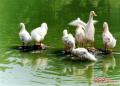 农村做什么养殖项目好?农村养殖鸭子赚钱吗?