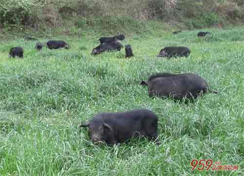 吃草的野香猪