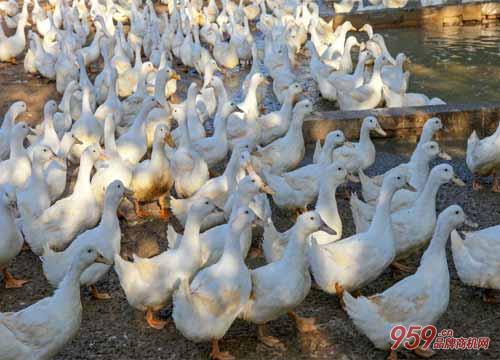 养鸡养鸭养鹅哪个好?养哪个更赚钱?