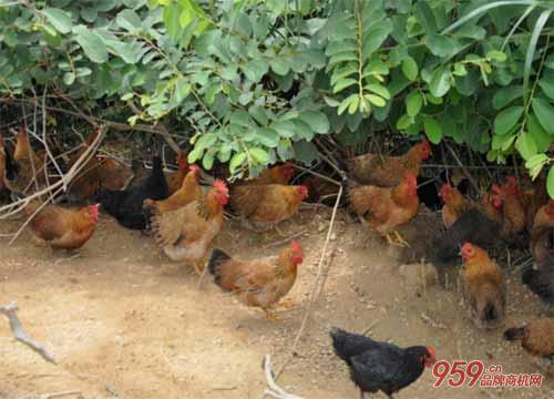 养殖什么最赚钱风险小?林下养鸡有什么技术方案?