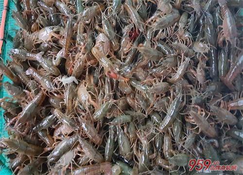 小龙虾养殖利润