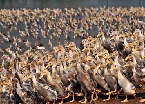 在农村做什么赚钱?2018养鸭子利润怎么样?