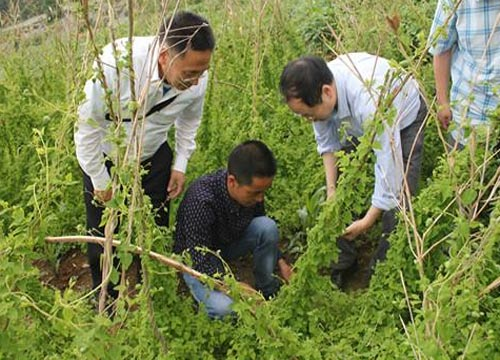 [湖北种植什么药材最好]种植什么药材最好?中药种植专家分享党参种植经验
