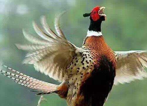 农村养殖七彩山鸡