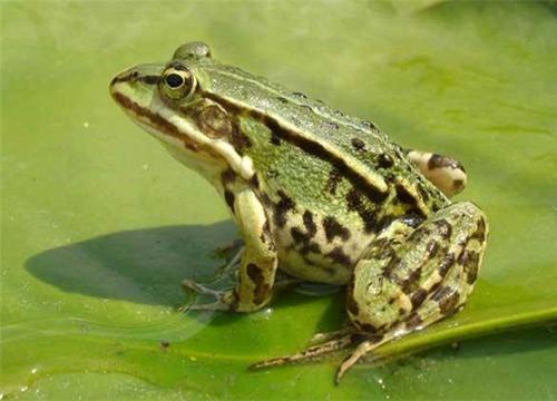 现在养殖青蛙利润有多少大 农村青蛙养殖成本大概多少钱图片
