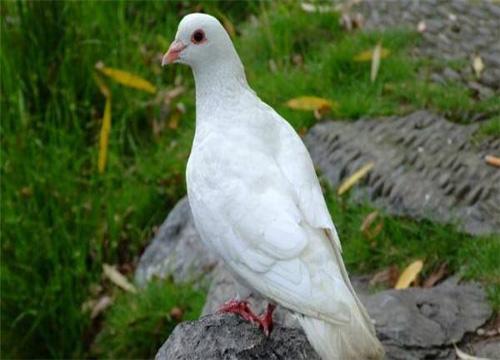 现在养殖肉鸽赚钱吗 有哪些注意事项