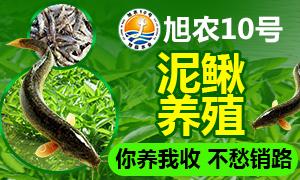 旭农10号泥鳅养殖 亩产高效