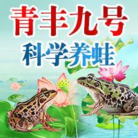 青丰九号青蛙养殖