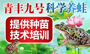 青丰九号青蛙养殖 1人养蛙 全家享福