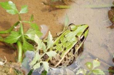 瑞优十号青蛙养殖 适应性强 亩产高效